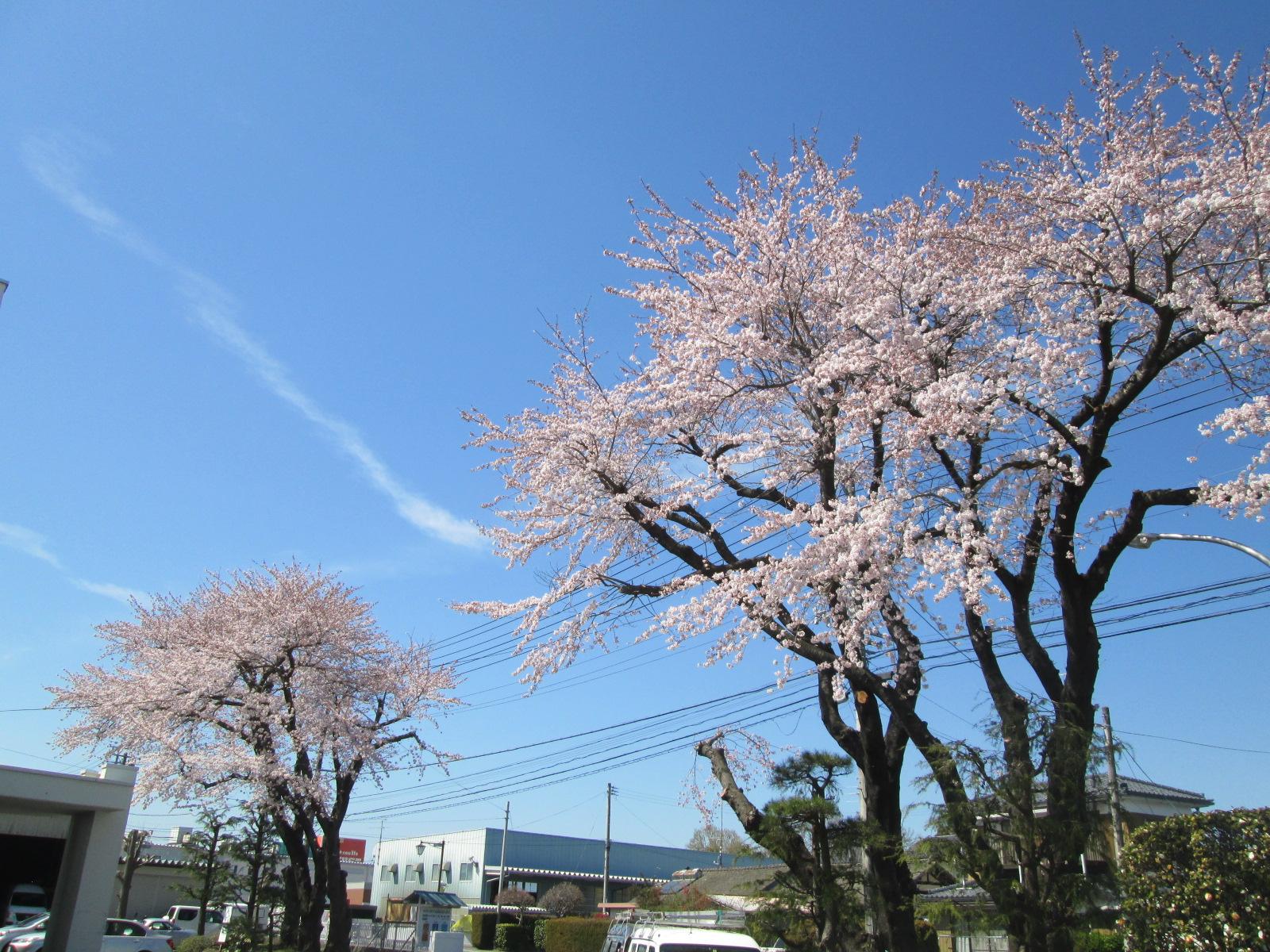 2016南相馬合同庁舎の桜が開花しました