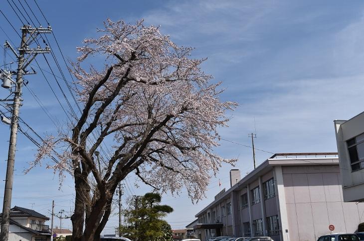 南相馬合同庁舎の桜が開花しました