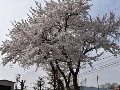 南相馬合同庁舎の桜が満開です!