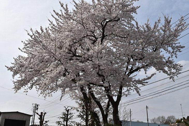 2018南相馬合同庁舎の桜が満開です!