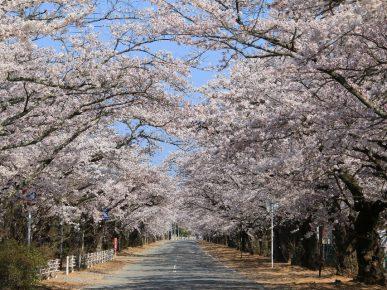 [富岡町]夜ノ森の桜