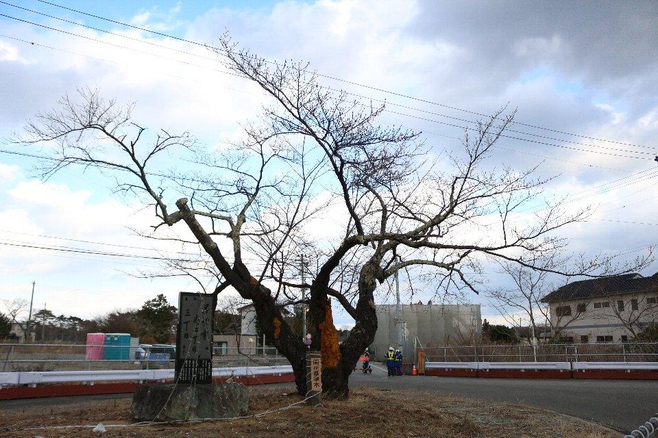 [富岡町]桜開花標準木